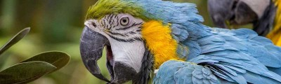 What makes parrots able to talk?