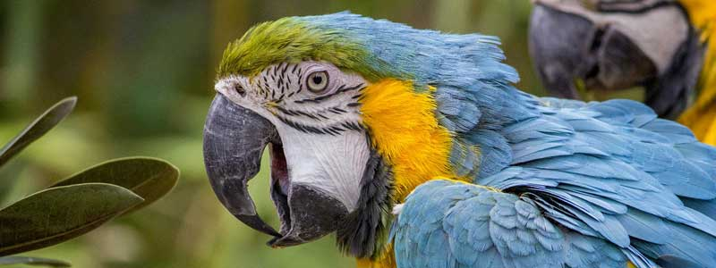 Why are parrots apparently able to talk?